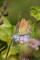 345390002 a wild xami hairstreak butterfly callophrys xami at  the naba site in mission hidalgo county lower rio grande valley texas united states