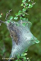 LE15-016e  Moth - eastern tent caterpillar in protection of silk - Malacosoma americanum