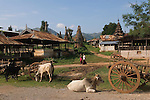 Indein village cattle graze against a background of over 1050  ruined Buddhist stupas mostly erected in the eighteenth century. In Dein or Indein village stupas. Inle Lake. Myanmar (Burma.) 2006.