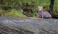 The Great Bear Rainforest is a great place to spot mink. We were fortunate this one hung out for a few moments before swimming away.