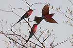 Stalking Southern Carmine bee-eaters along the Zambezi river.  Hundreds arrived for breeding season.  What a sight.