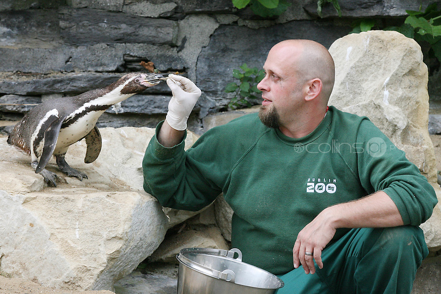 8/7/2010. Missing Penguin. Kelli the 10-year-old female penguin Kelli is pictured back at the Zoo with keeper Garth Dejong.Three men are being sought after a penguin was stolen from Dublin Zoo this morning. The bizarre theft happened at around 8.30am before the zoo opened to the public. Three men climbed the perimeter fence and entered the penguin habitat, capturing a 10-year-old female named Kelli.  They put her into a sack and left the zoo where they hailed a taxi passing through the Phoenix Park. They told the driver they had a rabbit with them and he dropped them in Dublin's north inner city. Picture James Horan/Collins PhotosThe penquin was found on Rutland Street and was taken back to the Zoo by gardaí from Store Street.