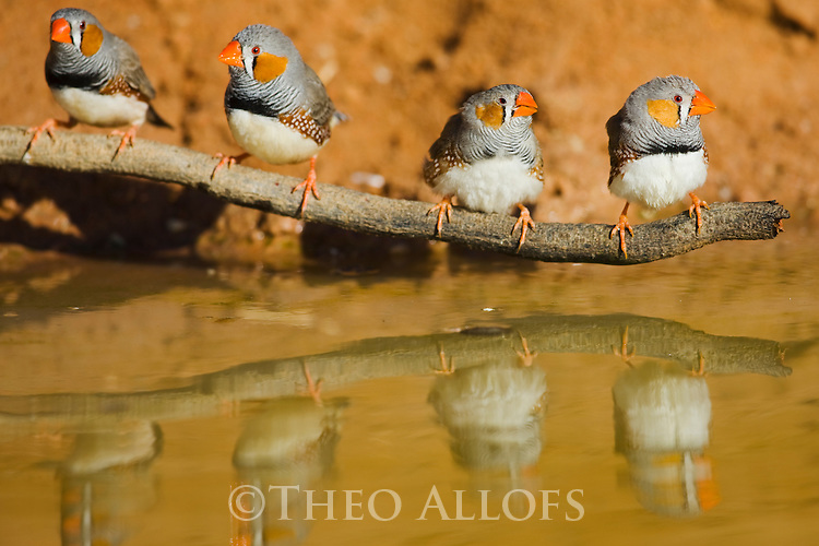 Australia,  NSW, Sturt National Park; Zebra finches at waterhole(Taeniopygia guttata)