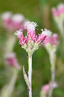Mountain Everlasting - Antennaria dioica