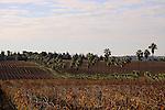 Israel, Shephelah, A vineyard by Kibbutz Hulda