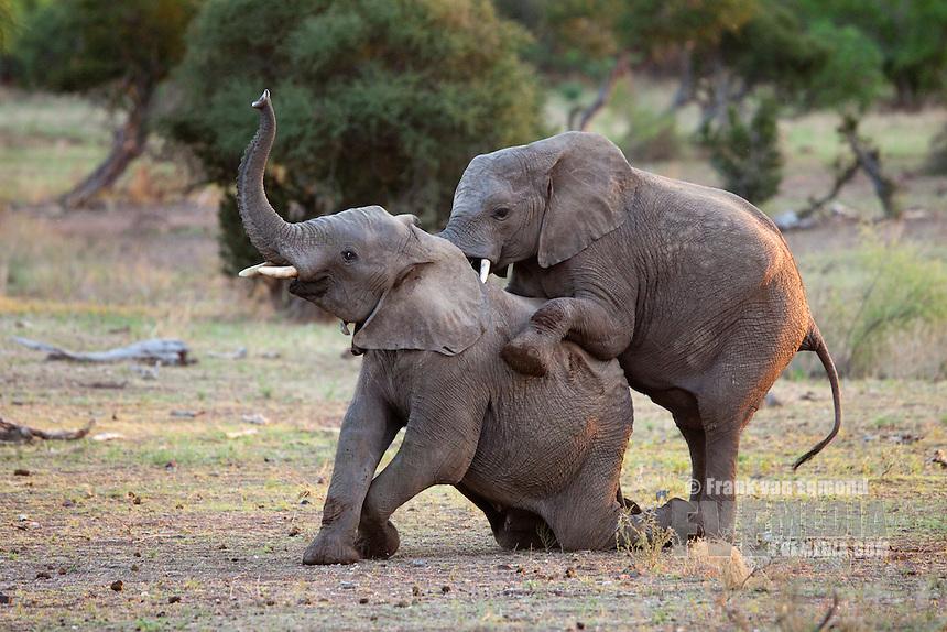 African Elephant (Loxodonta africana). Vulnerable species...Two immature male elephants practicing through play...Mashatu Game Reserve..Tuli block, Botswana..November 2010.