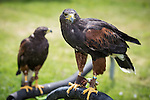 "© Joel Goodman . 3 June 2013 . 3 York Road , Droylsden , Manchester M43 7QB , UK . "" JET "" the Harris Hawk in foreground and "" RIA "" the Harris Hawk in the background (both three and a half years old, both correct). Alan Long (correct) (35) attempted to rescue Ria from up a tree after she escaped her leash , only to get stuck half way up the tree himself . They both had to be rescued by the fire brigade . Photo credit : Joel Goodman"