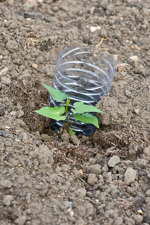 Sweet potatoes need a lot of water. When you plant out seedlings, sink an open-ended plastic bottle into the soil to ensure that water goes right down to the tubers.