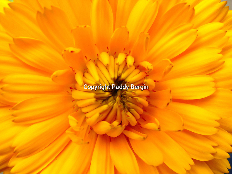 &quot;Marigold&quot;, is derived from &quot;Mary's gold&quot;, a name first applied to a similar plant native to Europe, Calendula officinalis.<br />