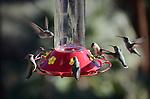 Costa's hummingbirds at feeder in the Coachella Valley