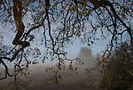 oak tree in morning fog