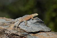 442000003 a wild nevada side-blotched lizard uta stansburiana nevadensis basks in the buttermilks near bishop owens valley inyo county california united states