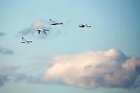 Tundra swans (Cygnus columbianus)