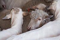 Domestic Sheep, Sheep shearing, sheared and unsheared sheep, Hill Country, Texas, USA, April 2007