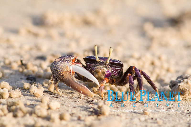 West African Fiddler Crab (Uca tangeri), adult male filtering sand, Sine-Saloum Delta, Senegal, Africa