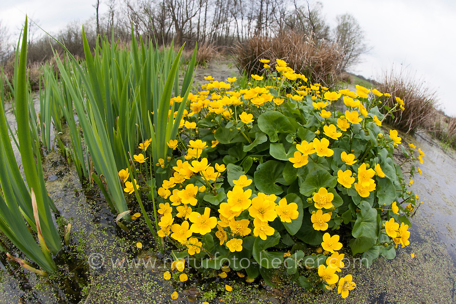 Sumpf-Dotterblume, Sumpfdotterblume, Dotterblume, Caltha palustris, Kingcup, Kingscup, Marsh Marigold, Populage des marais