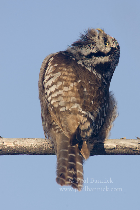A Northern Hawk Owl calls to a mate.