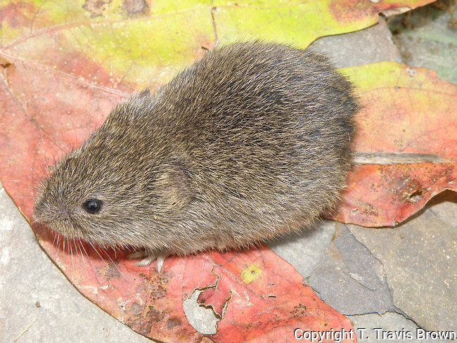 Prairie Vole with Fall Leaves