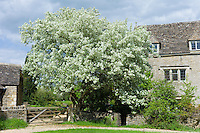 Pear tree in blossom in front of traditional Cotswold stone cottage in the quaint village of Southrop in the Cotswolds, Gloucestershire, UK