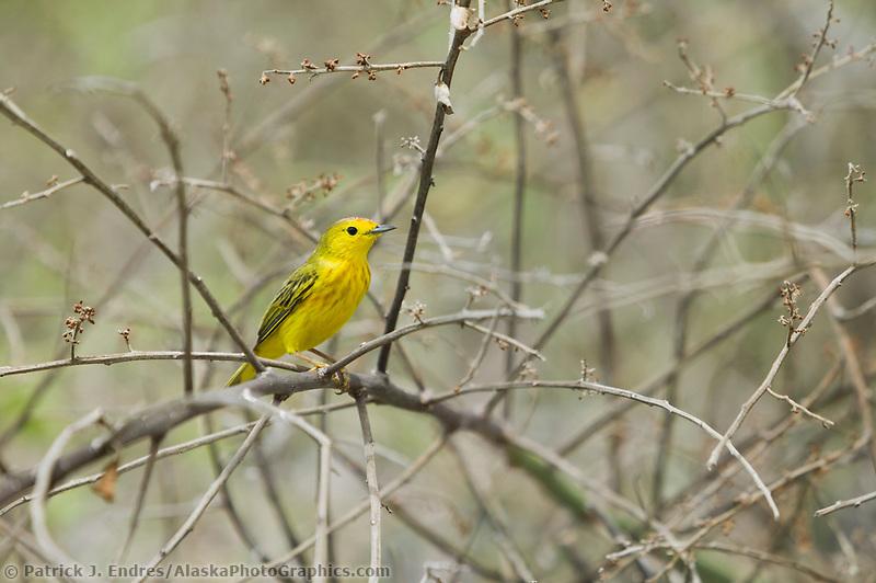 Yellow Warbler, Galapagos Islands, Ecuador
