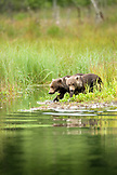USA, Alaska, grizzly bears cubs exploring, Redoubt Bay