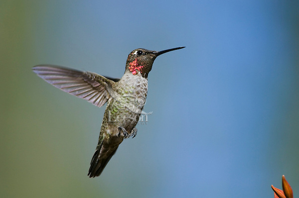 Anna's Hummingbird (Calypte anna).  I believe this is an immature male in September.