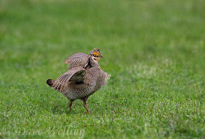 572110186 a wild lesser prairie chicken tympanuchus pallidicintus displays and struts on a lek on a remote ranch near canadian in the texas panhandle