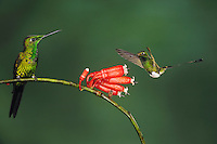 Booted Racket-tail(Ocreatus underwoodii), Empress Brilliant (Heliodoxa imperatrix),adults feeding on flower,Mindo, Ecuador, Andes, South America