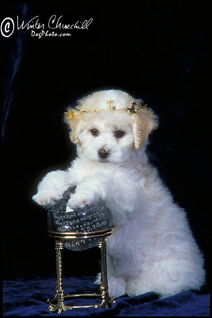 Bichon Frise Shopping cart has 3 Tabs:<br /> <br /> 1) Rights-Managed downloads for Commercial Use<br /> <br /> 2) Print sizes from wallet to 20x30<br /> <br /> 3) Merchandise items like T-shirts and refrigerator magnets