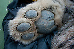Snow Leopard (Panthera uncia) paw of male during collaring, Sarychat-Ertash Strict Nature Reserve, Tien Shan Mountains, eastern Kyrgyzstan