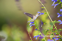 01162-15211 Ruby-throated Hummingbird (Archilochus colubris) at Blue Ensign Salvia (Salvia guaranitica ' Blue Ensign') in Marion County, IL