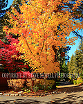 Festive Fall colors along Lakeshore Drive in Incline Village, Nevada. Lake Tahoe has a wide variety of trees that generate some of the most spectacular color combinations in my humble opinion.