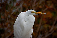 Lake Merritt and its bird refuge in Oakland is home, even if temporarily, to a wide variety of birds including this Great egret