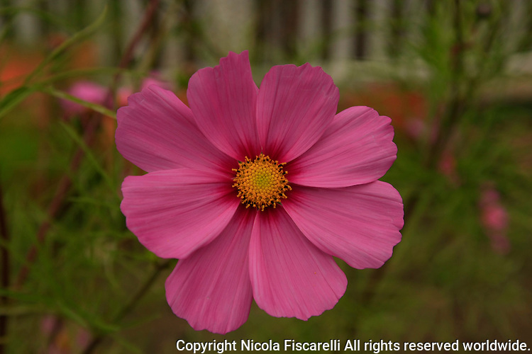 A close-up of a pink flower Cosmos bipinnatus with a white picket fence  in the background.