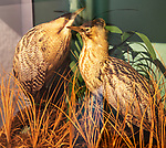 Male and female bittern birds, Botaurus Stellaris, display case, Dunwich museum, Suffolk, England, UK