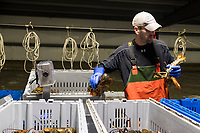 Sean Eason, 38, sorts live lobsters by size and weight at Island Seafood's receiving facility in Eliot, Maine, USA, on Wed., Jan. 31, 2018. Lobsters are sorted into similar sizes and then moved to a packing facility to be shipped to customers around the world.