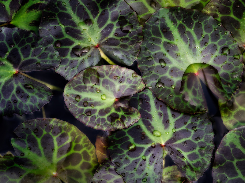 Close up of Chocolate Water Fringe,Nymphoides geminata leaves. Floating leaves. Oregon