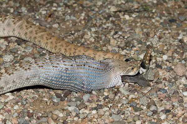 A Western Diamondback Rattlesnake (Crotalus atrox) eating a female Gambel's Quail (Callipepla gambelii)
