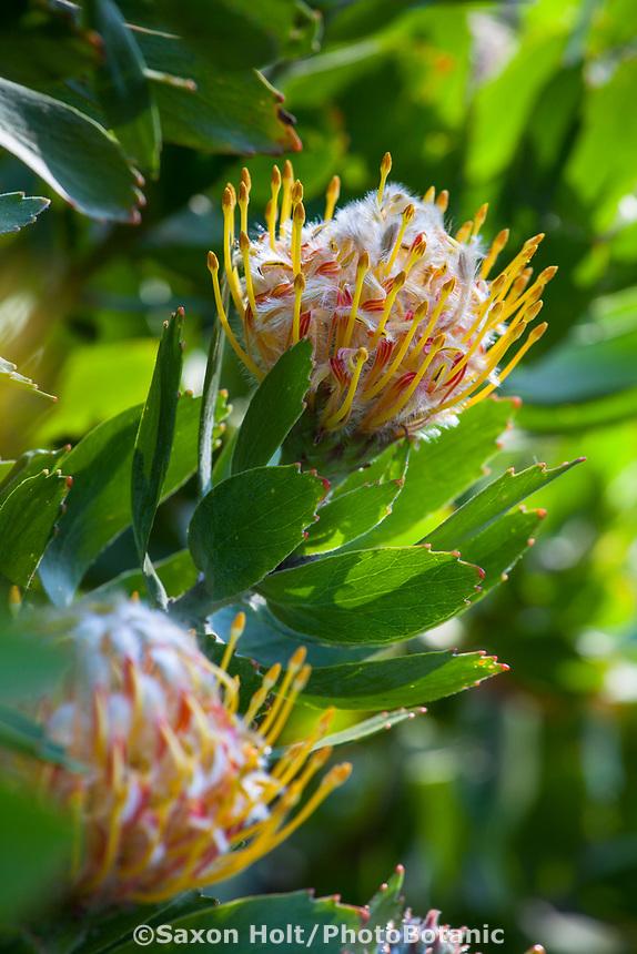 Leucospermum 'Veldfire' Pincushion Protea, flowering at San Francisco Botanical Garden