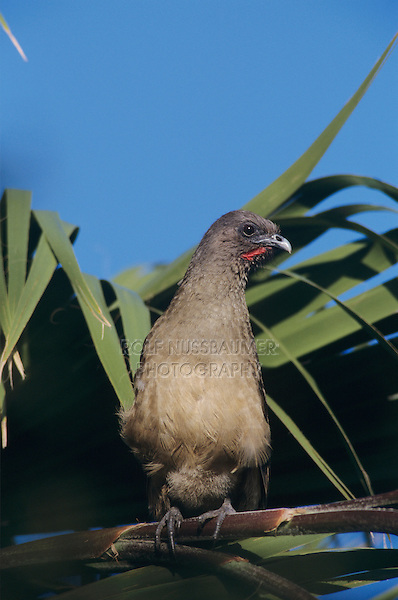 Plain Chachalaca, Ortalis vetula, adult  on palm tree, The Inn at Chachalaca Bend, Cameron County, Rio Grande Valley, Texas, USA, May 2004