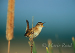 Marsh Wren (Cistothorus palustris) male singing in a cattail marsh, Montezuma National Wildlife Refuge, New York, USA<br /> Slide # B134-401