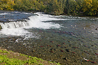 Red salmon gather at the base of the Brooks Falls, Katmai National Park, Alaska.
