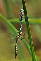 339360035 a pair of blue-eyed darners rhionaeschna multicolor mating or in tandem perched on a reed in the fish slough area near bishop mono county california united states