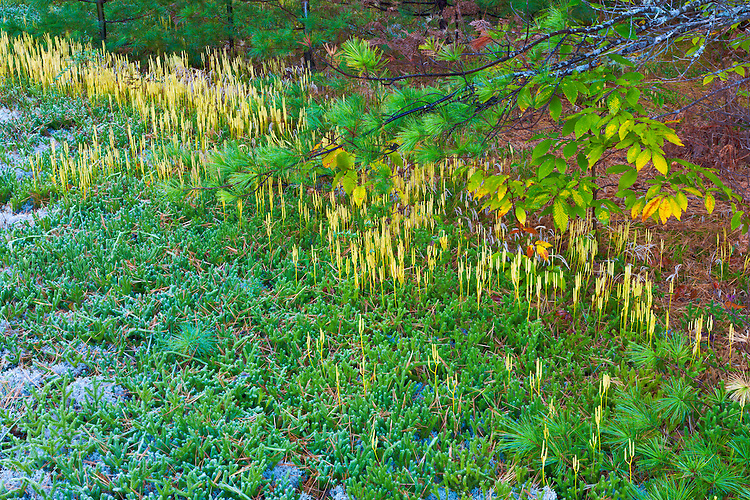Club Moss (Lycopodium) in a moist meadow in the Hiawatha National Forest; Upper Peninsula, MI