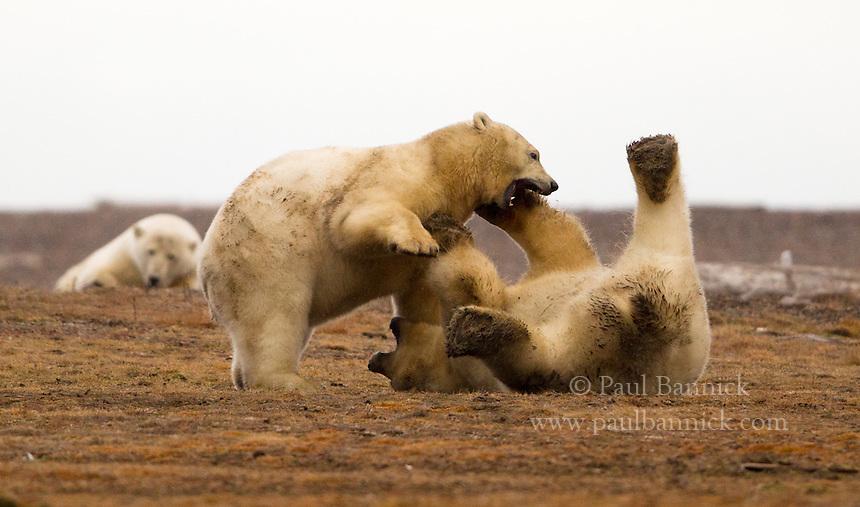 Two Polar Bears play along the ANWR coastal plain near Kaktovik Alaska.