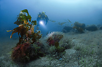 Ocean floor carpeted with deep water brittle stars, Ophiuroidea sp, with scuba diver swimming over, Anacapa Island, Channel Islands, California, USA, East Pacific