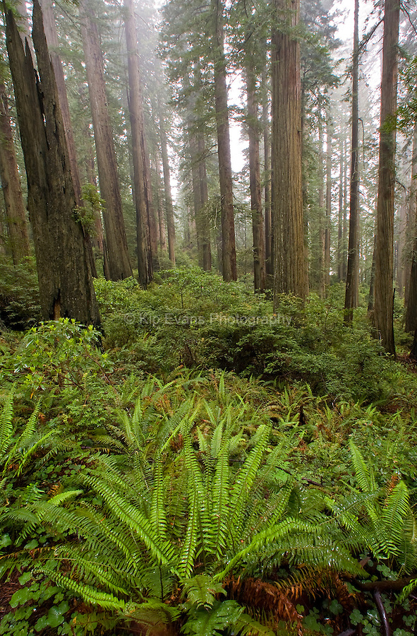Redwoods and Sword Ferns covered with rain, Redwood Forest National Park.