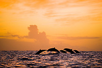 Fraser's dolphin (lagenorynchus hosei) A group of Fraser's dolphins at sunset Eastern Caribbean.