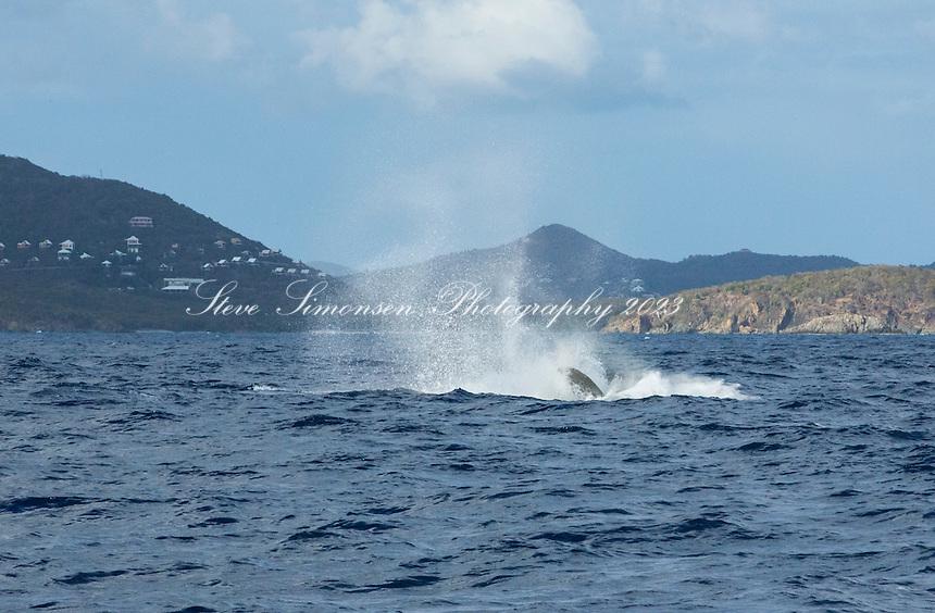 Humpback Whales<br /> U.S. Virgin Islands