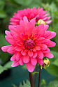 Dahlia 'Karma Fuchsiana', early August.